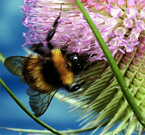 Lune Valley Beekeepers Bumblebee