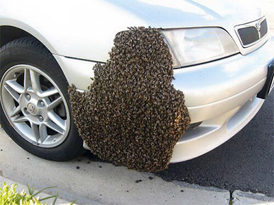 Honey Bee Swarm On Car