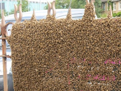 Honey Bee Swarm On Gate