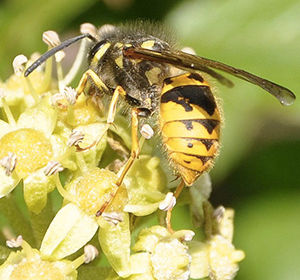 Lune Valley Beekeepers Wasp